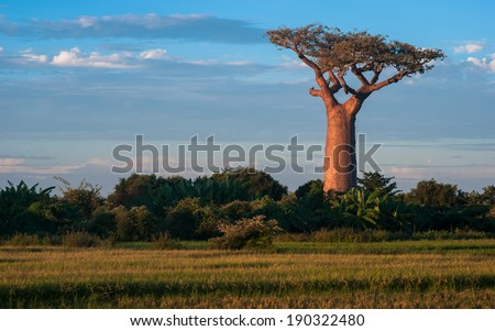A stand alone baobab in rice field in Madagascar - stock photo
