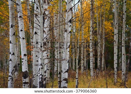 A stand of aspen trees show their fall foliage.