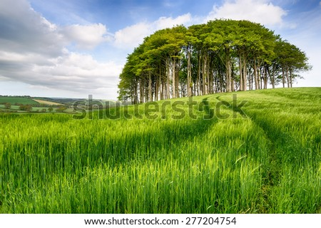 A stand of beech trees growing in a field of lush green barley - stock photo