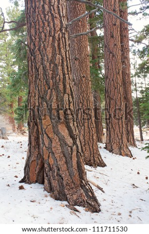 A stand of Coulter Pine at Mount San Jacinto - stock photo