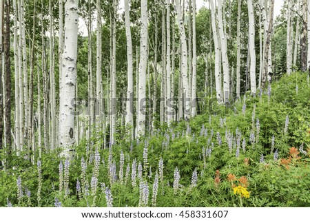 A stand of quaking aspen trees on a lush slope over Lupine and other wildflowers in the alpine La Sal Mountains of Utah