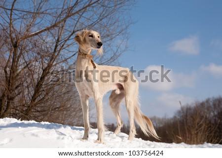 A standing white saluki on snow under blue sky - stock photo