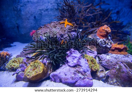 A starfish in a tank with stones and sea anemone - stock photo