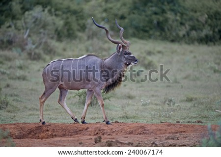 A stately Kudu Bull out in the open - stock photo