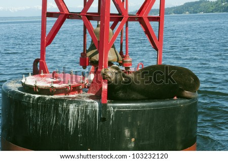 A stellar sea lion napping on a channel marker buoy. - stock photo