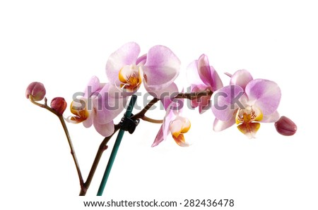 A stem of beautiful pink orchid's with blooming and bud's flowers, isolated for white background.  - stock photo