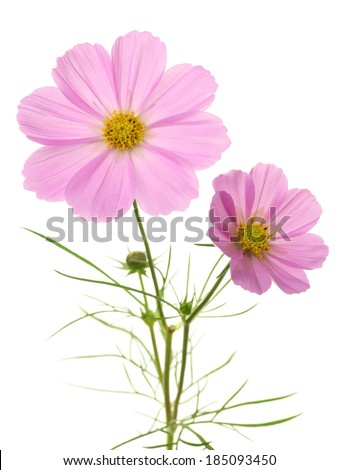 A stem with two light pink flowers with yellow centers. - stock photo