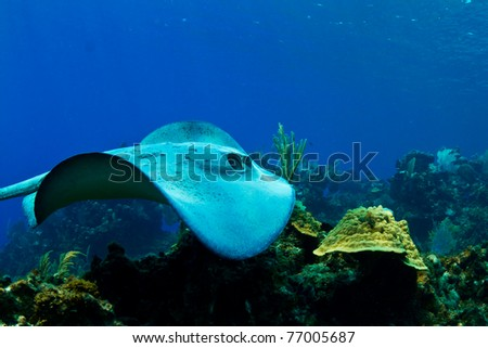 A stingray swims over a tropical reef in  Honduras,  Central America