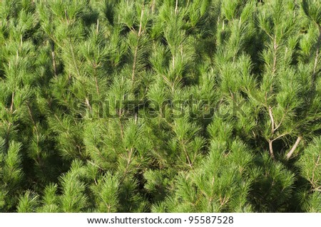 A stock photo of pine tree branches for a background