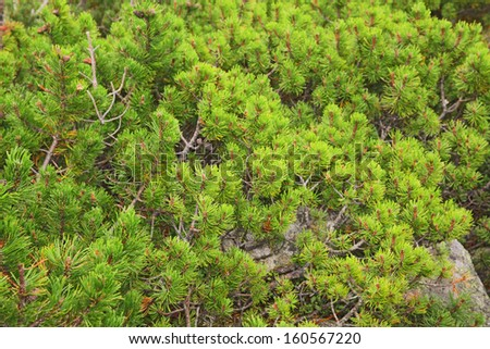 a stone terrain covered by thick carpet of the mountain pine  - stock photo