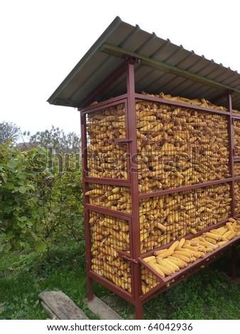 A storage of fresh maize - stock photo