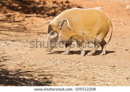 A stout Red River Hog with long curly ears on a dry arid land - stock photo