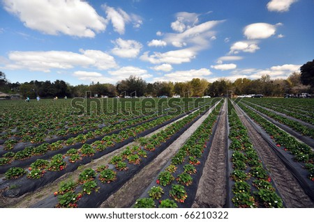 a strawberry farm in a nice day