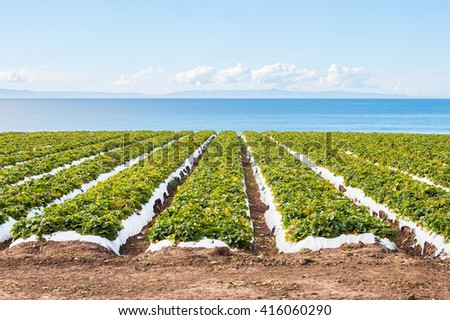 A strawberry field overlooking the Pacific ocean near Santa Barbara, California. - stock photo