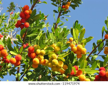 A strawberry tree (arbutus unedo) an evergreen with mature fruits - stock photo