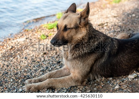 A stray dog walks on the beach, brown black color.
