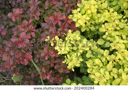 "A striking shrub with red leaves bordered. Berberis thunbergii ""Admiration"" and ""Tiny Gold"" - stock photo"