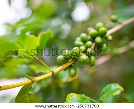 A string of coffee beans grows on a branch. - stock photo
