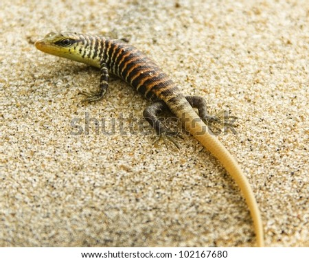 striped gecko black