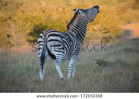 A strong Zebra Stallion warns a nearby rival - stock photo