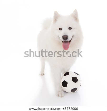 a studio image of a pure white breed dog, standing, looking forward, with a football at it's feet