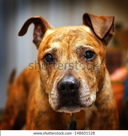 A studio style portrait of a brown pit bull with an abstract background. - stock photo
