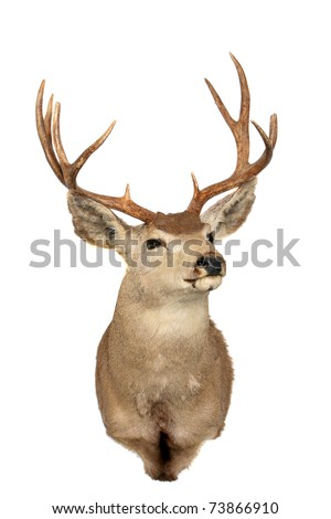 "a stuffed ""black tail"" deer also known as a ""mule deer"" isolated on white with room for your text - stock photo"