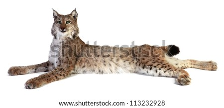 A stuffed lynx on a white background. isolated - stock photo