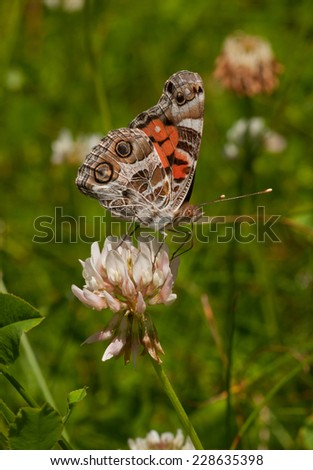 A stunning American Lady butterfly nectars on a clover flower along a northwoods Wisconsin roadside. - stock photo