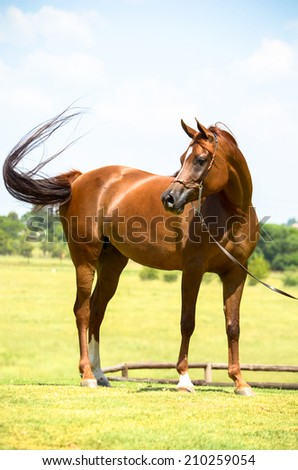 A stunning arab mare looking towards the left, with a horse halter on and swishing her tail. - stock photo