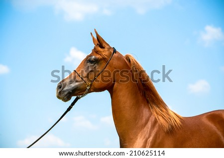 a stunning arabian horse on a halter with a blue sky background - stock photo