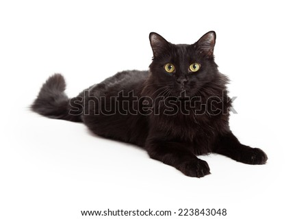 A stunning black long haired cat with beautiful eyes is laying with outstretched paws and looking into the camera