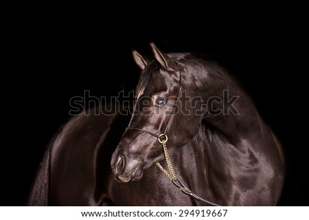 A stunning equine or horse, black gelding,stallion,mare arab horse portrait in a studio on a black background, a mare close up landscape