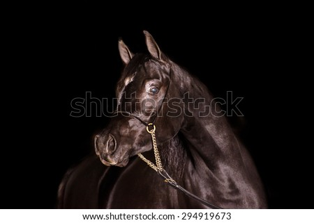 A stunning equine or horse, black gelding,stallion,mare arab horse portrait in a studio on a black background, close up landscape
