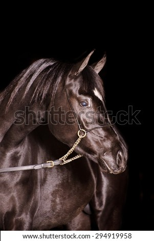 A stunning equine or horse, black gelding,stallion,mare arab horse portrait in a studio on a black background
