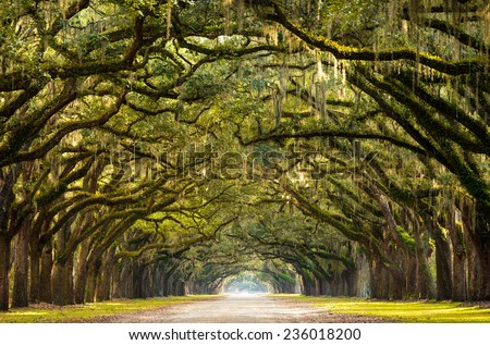 A stunning, long path lined with ancient live oak trees draped in spanish moss in the warm, late afternoon near Savannah, Georgia.  - stock photo