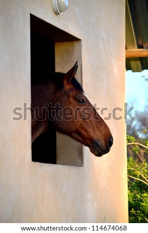 A stunning or beautiful and healthy thoroughbred  horse or gelding or stallion looking out the window of his stable or stall with ears pricked and looking happy and content. - stock photo