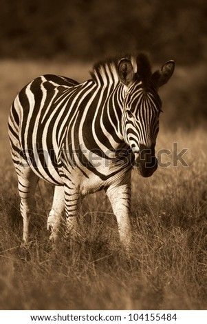 A stunning pin sharp monochrome / colourless image of a approaching burchells zebra taken fron on at a low angle.Shot while on safari in Addo elephant national park,eastern cape,south africa - stock photo
