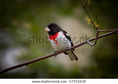 A stunning Rose-Breasted Grosbeak, Pheucticus ludovicianus, perched on a branch - stock photo