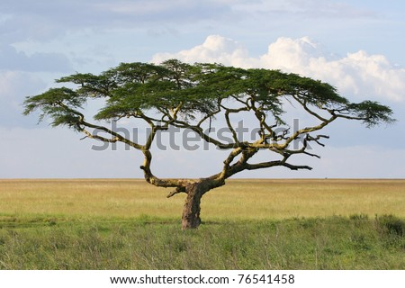 A stunning umbrella-shaped thorn tree in the Serengeti