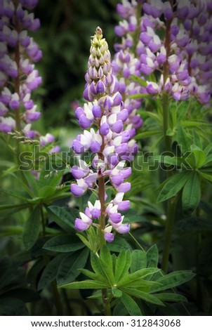 A stylish image of a bunch of purple lupin flowers in full bloom. - stock photo