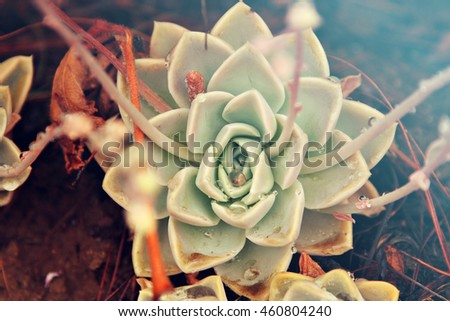 A succulent plant in a garden. Vintage filter effect added. - stock photo