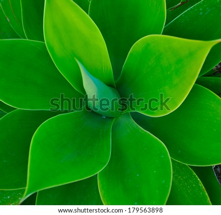A succulent plant made with the leaves in flower shape of green light color - stock photo