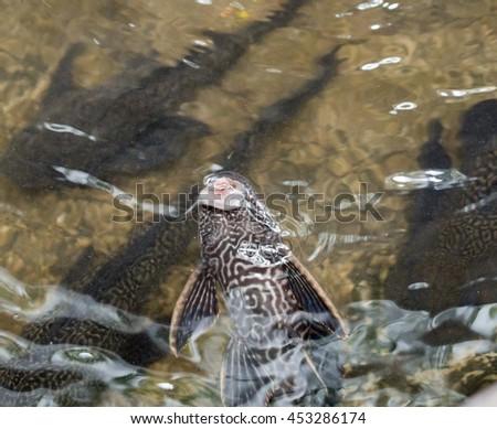 Plecostomus stock photos royalty free images vectors for Sucker fish food