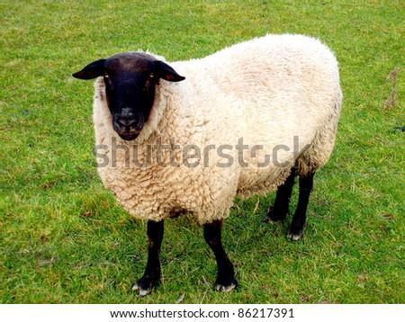 a suffolk ram - stock photo