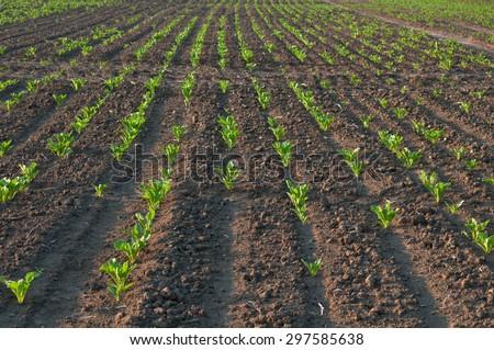 a sugar beet in row close up - stock photo