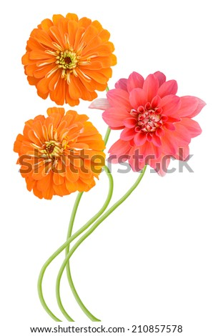A summer blooming with zinnia and dahlia flowers