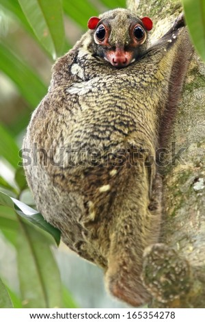 A Sunda Flying Lemur (Galeopterus variegatus) clings to a tree and rests during the day (nocturnal animal), looks at camera, in jungles of Borneo. AKA Malayan Flying Lemur or Malayan Colugo.