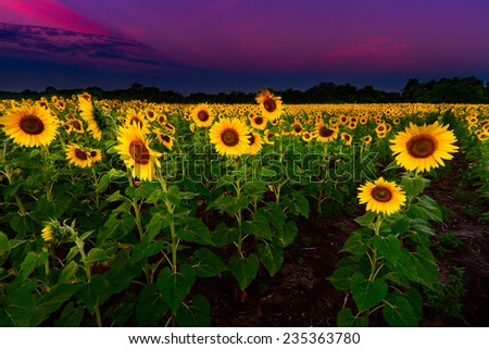A Sunflower field before the sun came up in the midwest - stock photo