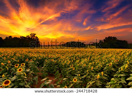A sunflower field in Kansas with a beautiful sunset - stock photo